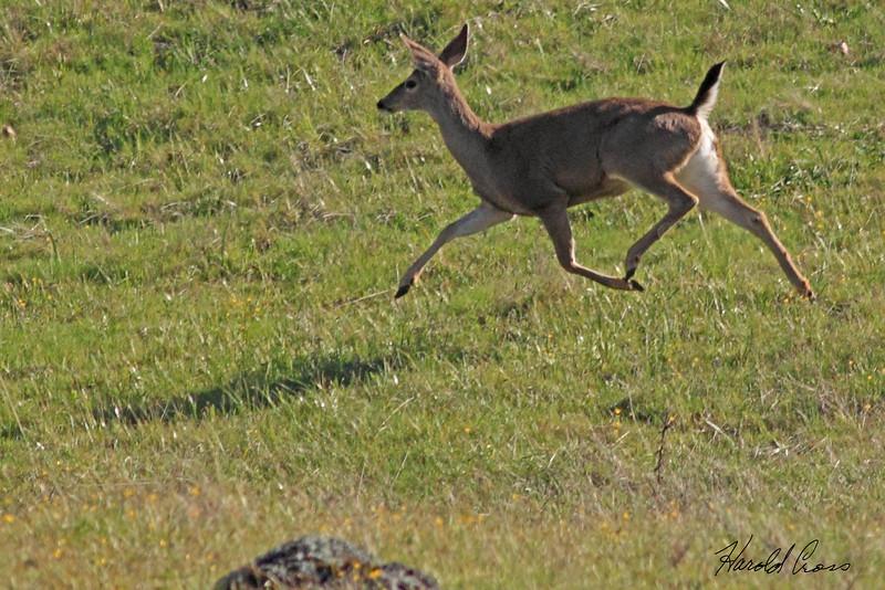 A deer taken May 22, 2010 near Bridgeville, CA.