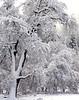 Morning snow, black oak