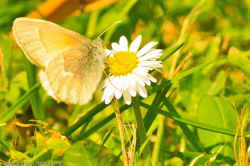 A butterfly taken June 14, 2011 near Bridgeville, CA.