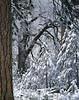 New snow, ponderosa and black oak