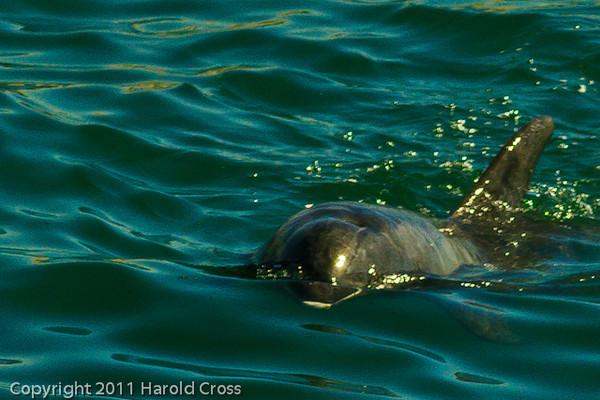 A dolphin taken Oct. 1, 2011 near Los Angeles, CA.