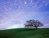 Coast live oak, evening sky, spring