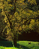 Moss-draped oak and doe, early morning