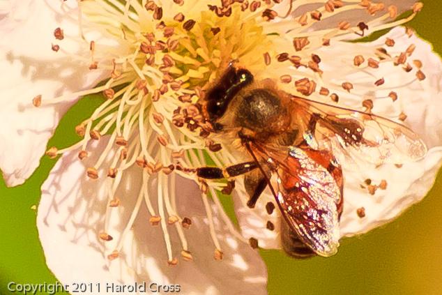 A bee taken June 16, 2011 near Bridgeville, CA.