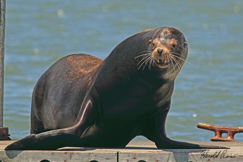 A Sea Lion taken Jun 11, 2011 in Eureka, CA.
