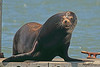 A Sea Lion taken Jun 11, 2011 in Eureka, CA.