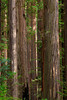 California, Redwood National Park Landscape 加利福尼亚 红杉树国家公园 风景