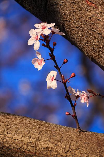 Plum tree blossoms at Northwest Circle.