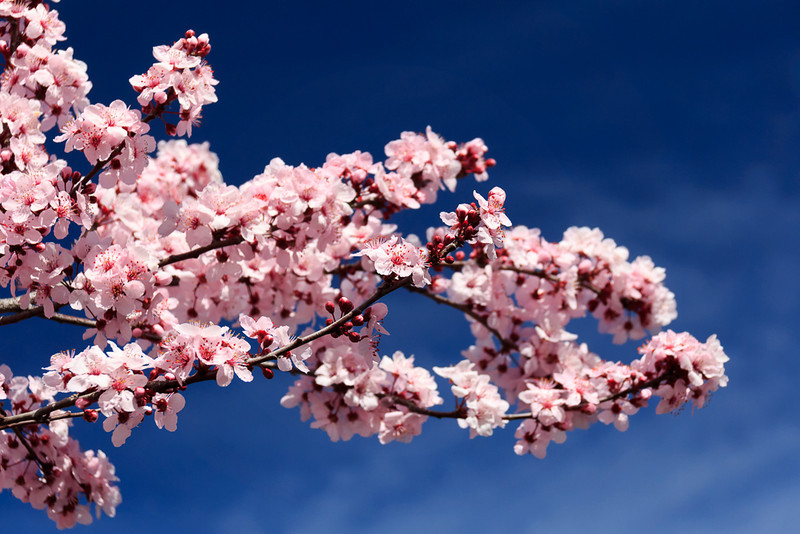 Plum tree blossoms at Sterling Landing.