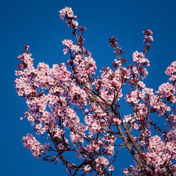 Plum tree at Northwest Circle and Fairbanks Circle.