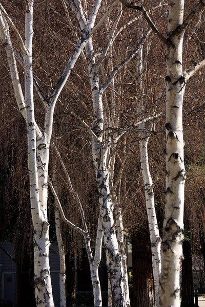 Birch trees near the pool.