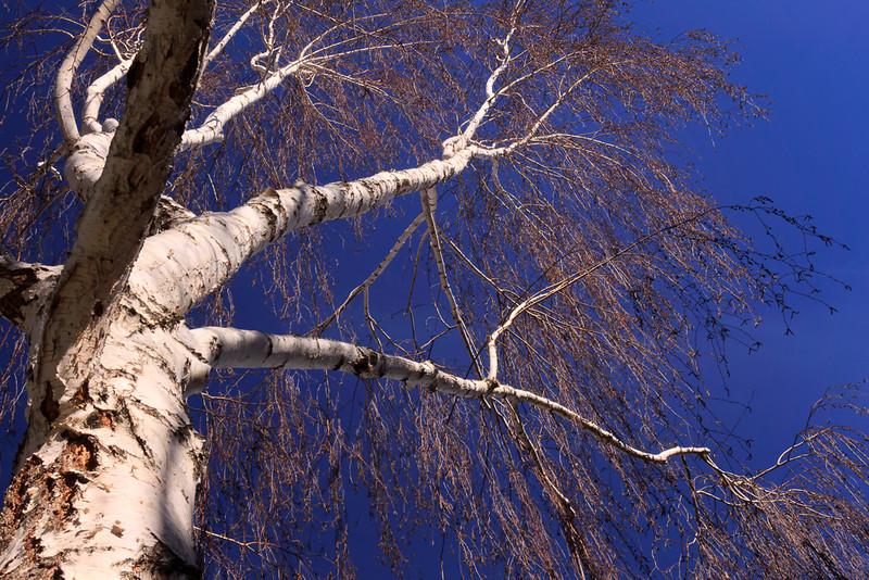 Birch tree at Fairbanks Circle.