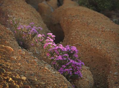 Wildflowers in Grimes Canyon, Santa Susana Mountains, Southern California 2012