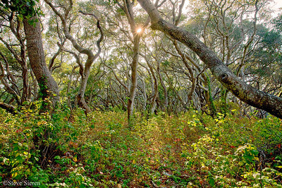 Central California Coast San Luis Obispo County  Coast Live Oak can grow up to 25 feet tall and grow in moist areas.