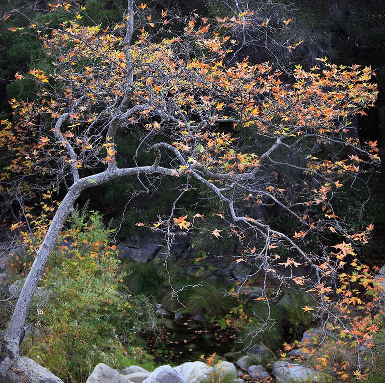 Sycamore tree in a canyon of the Santa Monica Mountains near Malibu, California.