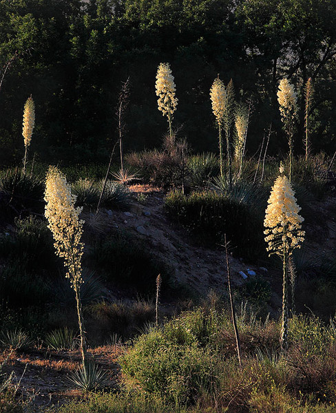 Whipple yucca bloom in the Santa Clara River Valley, Southern California
