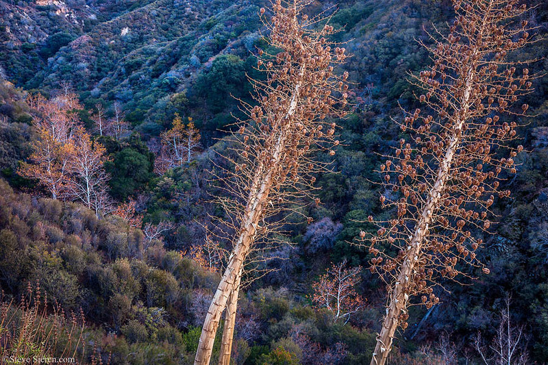 Fall_Color_Sycamore_Yucca_Angeles_National_Forest_Sand_Canyon_Southern_California