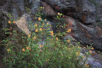 Monkey Flower at Pinnacles National Park