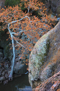 Sycamore tree sourrounded by boulders in fall / autumn in the Santa Monica Mountains near Los Angeles.