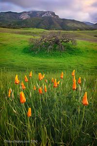 Boney Mountain Oak & Poppies  Santa Monica Mountains