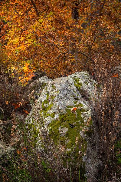 Lichen Moss Boulder Sycamore Tree Autumn Santa Monica Mountains