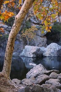 Old Sycamore Tree Santa Monica Mountains
