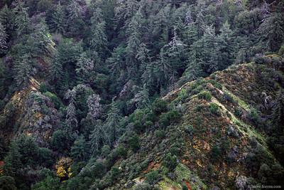 Townsley Canyon Pine Forest Santa Clartia Southern California