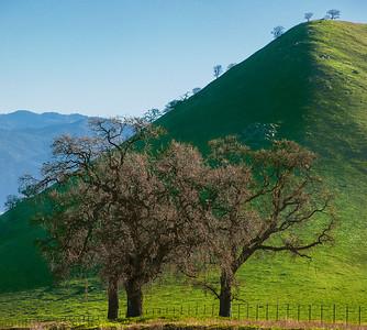 California_Oak_Trees_Bear_Mountain