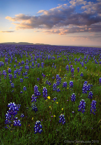 Wild lupine growing in California's Central Valley.  Wildflower in San Joaquin Valley.