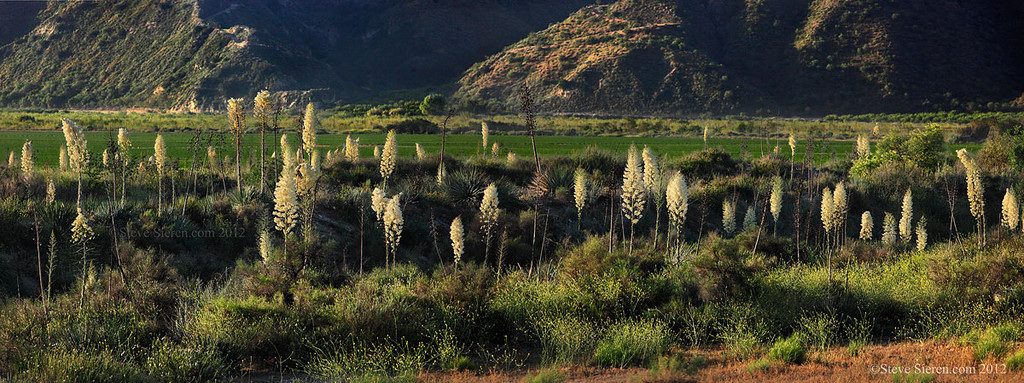 Blooming whipple yucca in the Santa Clara River Valley, Southern California.