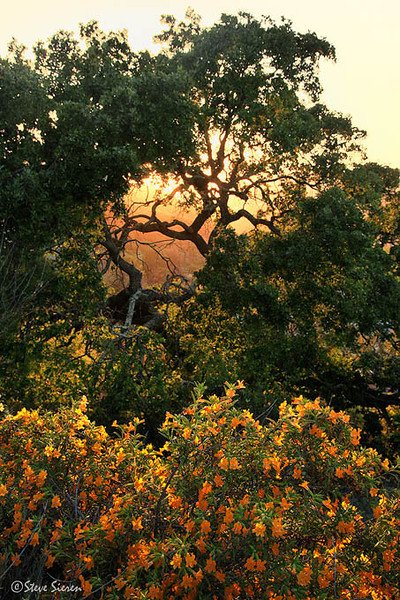 Wild monkey flower and live oak in Thousand Oaks, Calfornia.
