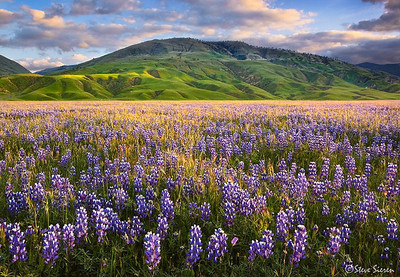 The Land of Lupine An endless display of wildflowers in California's Central Valley