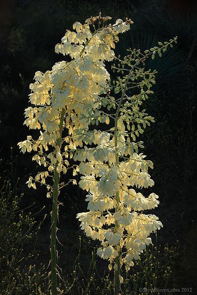 Blooming whipple yucca in Piru Creek, Southern California