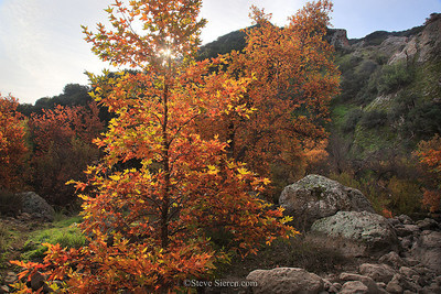 Fall Color Sycamore Trees in the Santa Monica Monica Mountains, Southern California