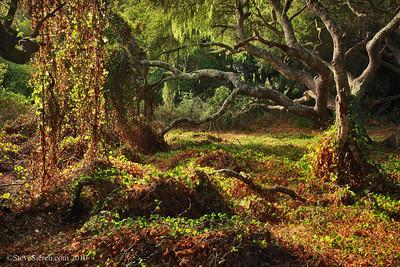 Central California Coast San Luis Obispo County  Coast Live Oak can grow up to 25 feet tall and grow in moist areas.