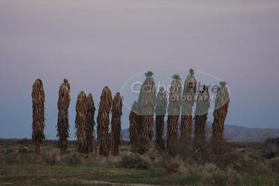 Palm Trees, Borrego Springs