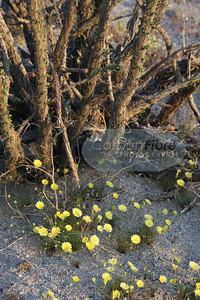 Dandelions, Carrizo Badlands