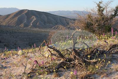 Lupine, Dandelions, and Verbena, Carrizo Badlands