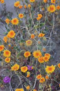 Flower detail II, Anza-Borrego Desert