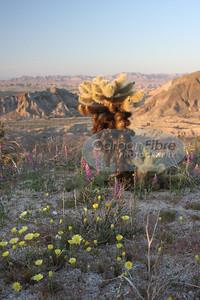 Dandelions and Cholla Cactus, Carrizo Badlands