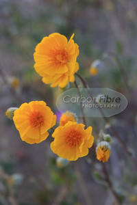 Flower detail, Anza-Borrego Desert