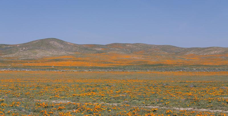 California Poppy Reserve, Spring 2014
