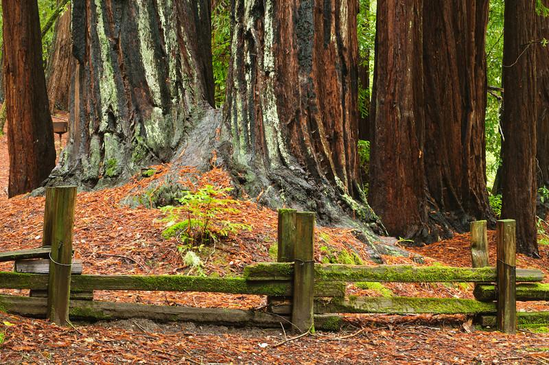 California Redwoods in Big Basin Redwoods State Park, near Santa Cruz and Los Gatos, California  8146