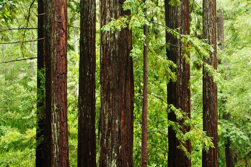 California Redwoods in Big Basin Redwoods State Park, near Santa Cruz and Los Gatos, California   8204