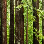 California Redwoods in Big Basin Redwoods State Park, near Santa Cruz and Los Gatos, California   8204