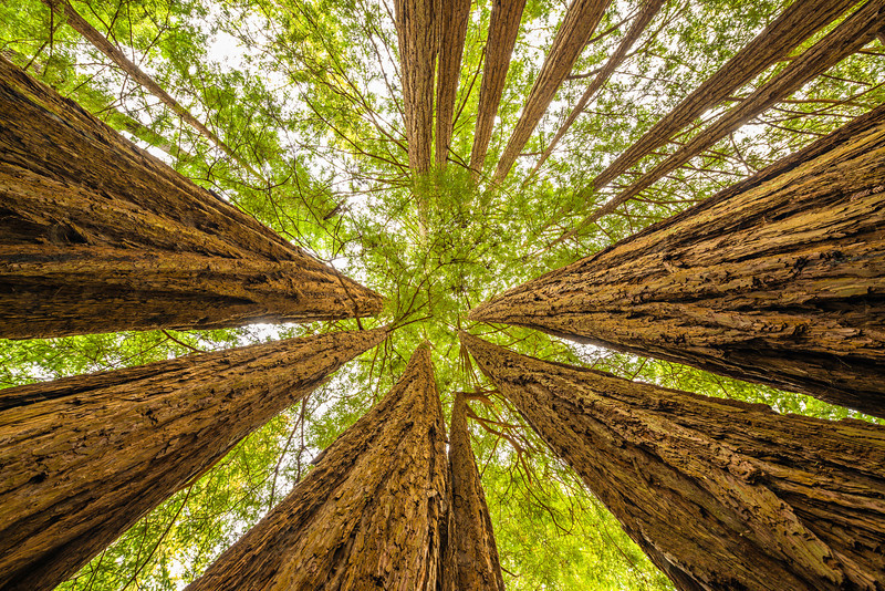 """Up Through the Trees"" Big Basin Redwoods State Park Nothing like these amazing Redwoods looking straight up! Towering above you it is hard to get a sense of their size! Please share this if you like it with other people! I captured this with my Nikon 14-24mm at 14mm and of course with a Tripod!"