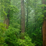"""""""In the Redwoods"""" Just hanging out with my friends, the tall trees, in Big Basin Redwoods State Park. Another shot from my great rainy hike up there this weekend! This one captures the fog and mist better. These trees are just so big it is hard to capture the immense size. I sure would love to have this view out my window every day. 8262.  California Redwoods in Big Basin Redwoods State Park, near Santa Cruz and Los Gatos, California."""