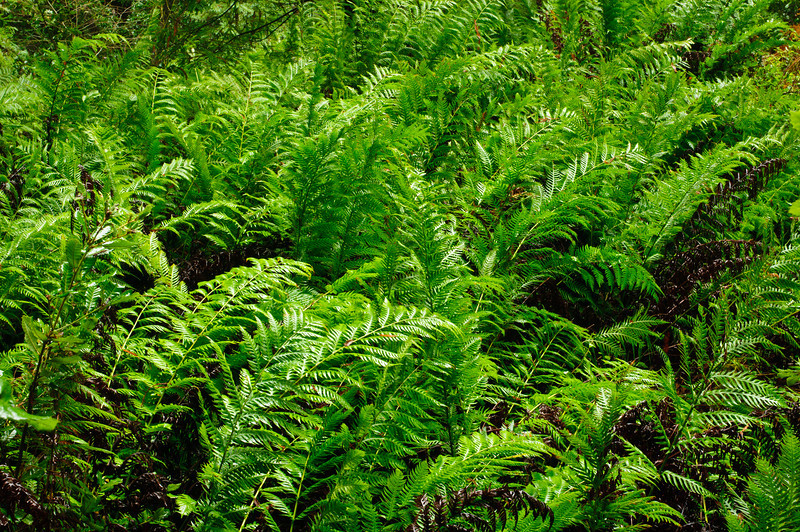 Wet Ferns in Big Basin Redwoods State Park, near Santa Cruz and Los Gatos, California