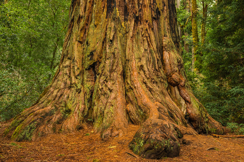 Base-of-the-Redwood-Big-Basin-State-Park-Santa-Cruz_D8X4803-California-Redwood
