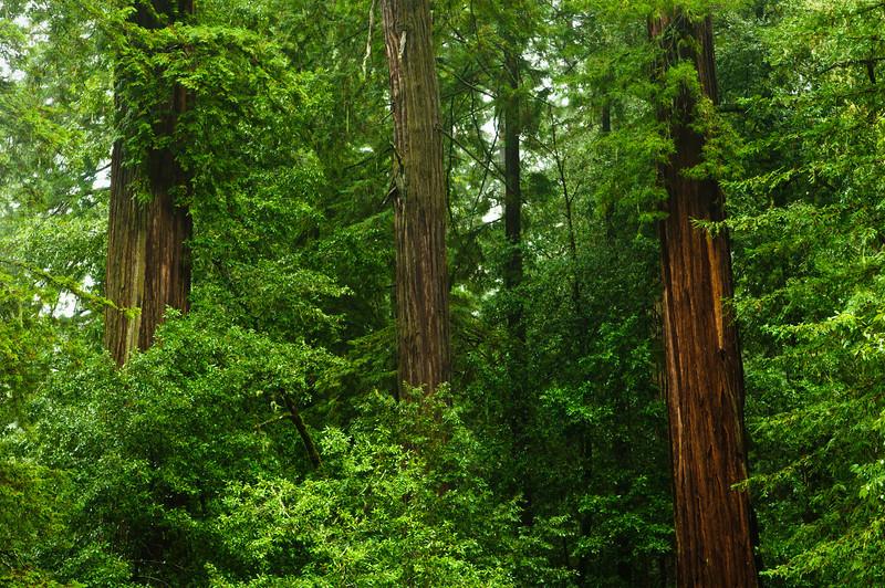 California Redwoods in Big Basin Redwoods State Park, near Santa Cruz and Los Gatos, California.
